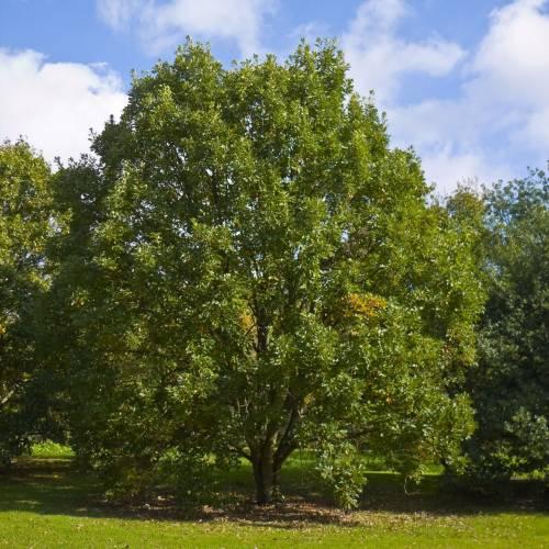arbre chene