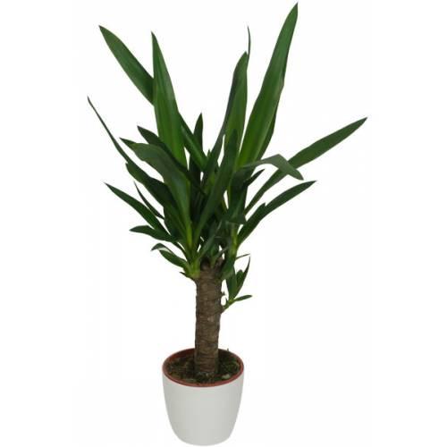 Yucca 1 tronc cache pot blanc vente yucca 1 tronc cache for Yucca exterieur pot