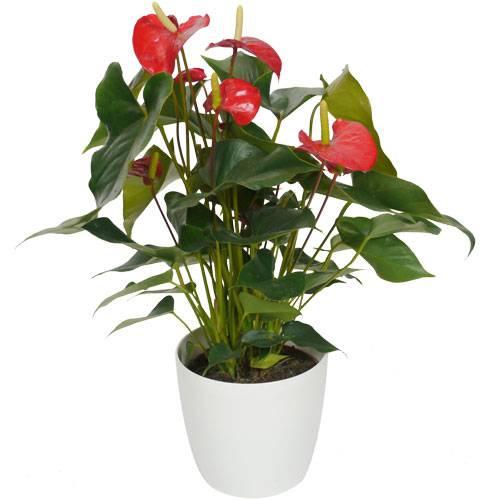 Plante d 39 int rieur anthurium rouge pot blanc vente for Plante rouge de noel