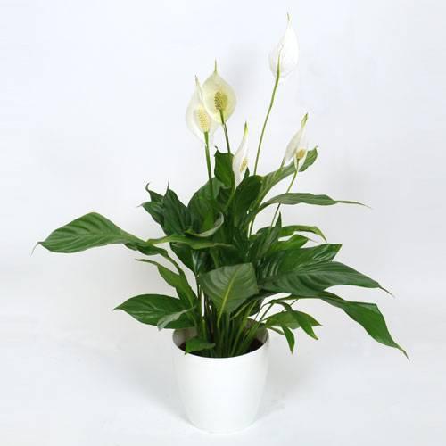 Plante d 39 int rieur spathiphyllum pot blanc vente plante d 39 int r - Plante sans lumiere naturelle ...