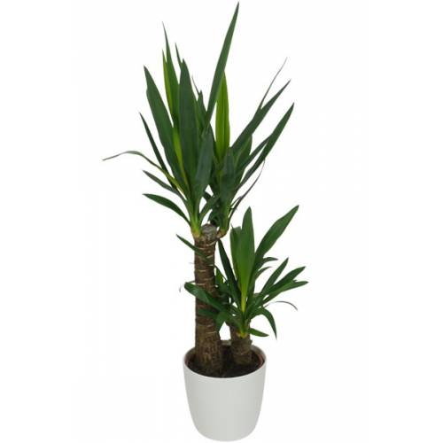 Plante d 39 int rieur yucca 2 troncs pot blanc vente for Acheter plante interieur