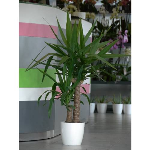 Plante d 39 int rieur yucca 2 troncs pot blanc vente for Pot de decoration interieur