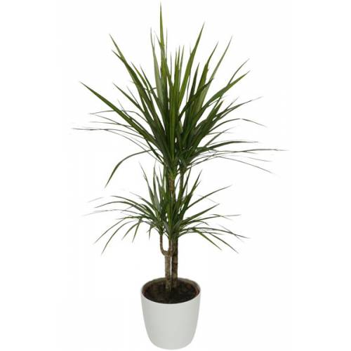 Plante d 39 int rieur dracaena 2 troncs pot blanc vente for Grande plante appartement