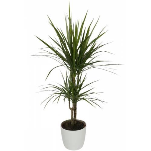 Plante d 39 int rieur dracaena 2 troncs pot blanc vente for Plante maison
