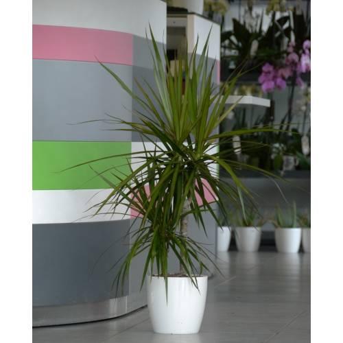 Plante d 39 int rieur dracaena 2 troncs pot blanc vente for Plante 150 maladies madagascar