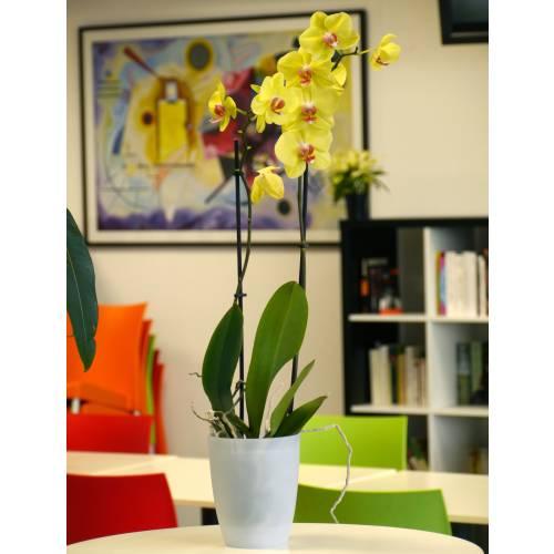 Orchidée Jaune + Cache pot Transparent : vente Orchidée Jaune + ...