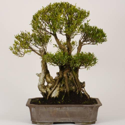 bonsa myrte 30 ans