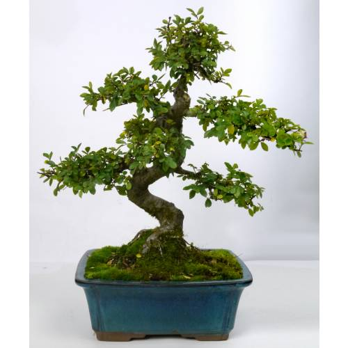 Tailler son orme de chine pretty girls - Orme de chine bonsai ...