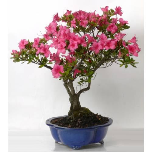bonsa azale 15 ans