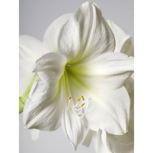 Amaryllis blanc simple vente amaryllis blanc simple for Amaryllis achat bulbe