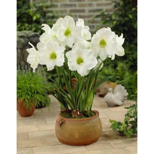 amaryllis blanc