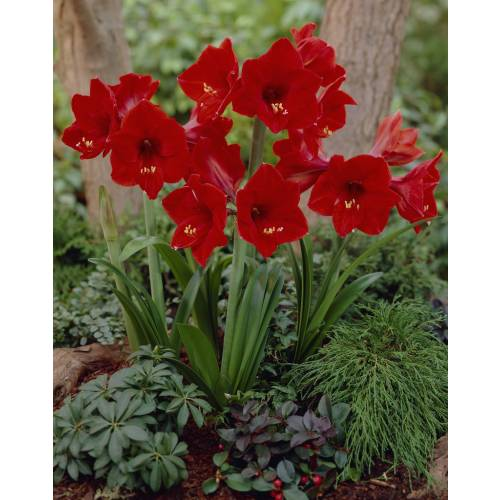 Amaryllis 39 red lion 39 simple vente amaryllis 39 red lion for Vente bulbe amaryllis