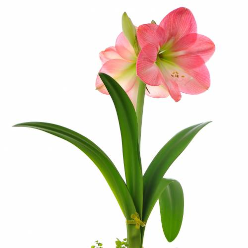 Amaryllis rose simple vente amaryllis rose simple for Vente bulbe amaryllis