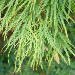Erable du Japon 'Dissectum viridis'