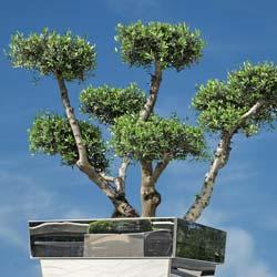 Specimen Olive Tree