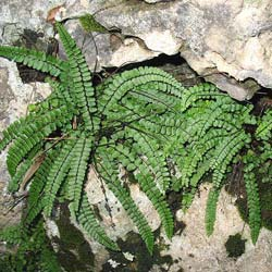 Quelles plantes choisir pour mur végétal intérieur ?