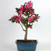 Bonsai Camellia 15 ans