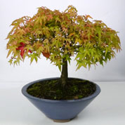Japanese Maple Bonsai 'Kiyohime' 12 years
