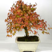Japanese Maple Bonsai 15 years