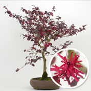 Bonsai Loropetalum 12 ans