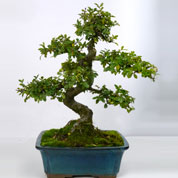 Bonsai Chinese Elm 8 years