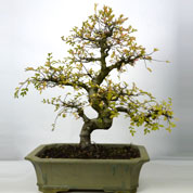 Bonsai Chinese Elm 15 years
