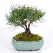 Bonsai Mugho Pine 3 years