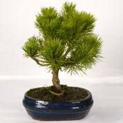 Bonsai Mugho Pine 5 years
