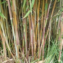 Bambous Pour Bac Et Jardiniere