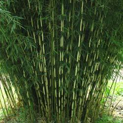 Bambous Cespiteux Bambous Non Envahissants