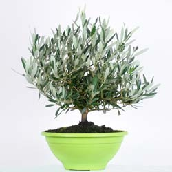 Olive Tree Bonsaï