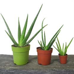 aloe vera plante m dicinale incontournable. Black Bedroom Furniture Sets. Home Design Ideas