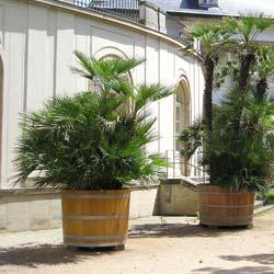 Achat du cocotier ou palmier du chili acheter au meilleur - Palmier nain en pot ...