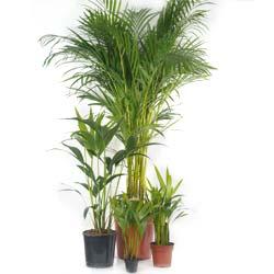 areca lutescens entretien arrosage de ce palmier d 39 int rieur. Black Bedroom Furniture Sets. Home Design Ideas