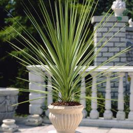 Cordyline indivisa ou draceana indivisa mais pas cordyline - Cordyline feuilles qui jaunissent ...