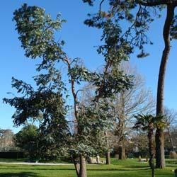 Achat de l 39 eucalyptus ou gommier acheter au meilleur prix de vente - Eucalyptus gunnii en pot ...