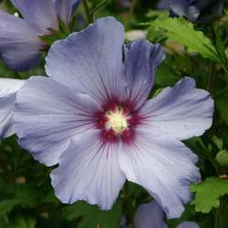 : Hibiscus rosa-sinensis Hibiscus%20Oiseau%20bleu