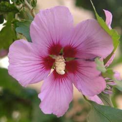: Hibiscus rosa-sinensis Hibiscus%20Woodbridge