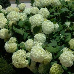 Difference entre hortensia et hydrangea