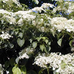 Hortensia grimpant hydrangea petiolaris conseils de culture - Quand tailler un hortensia ...