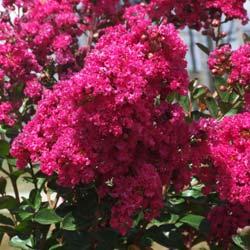 fuchsia: des fleurs aux couleurs infinies