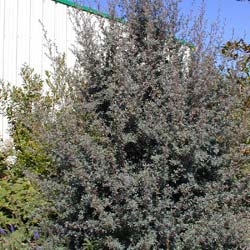 Leptospermum 'Silver Sheen'