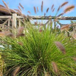 Herbe d corative pennisetum conseils de culture for Plante yucca chat