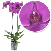 Orchidée papillon Mauve, Phalaenopsis - C12