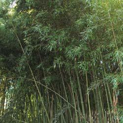 bambus para sebes. Black Bedroom Furniture Sets. Home Design Ideas