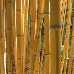 Bambou Phyllostachys aureo. Spect