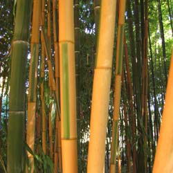 Bambou Phyllostachys b. Castillonis