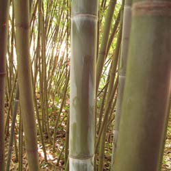 Bambou Phyllostachys glauca