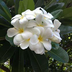 Achat du frangipanier acheter au meilleur prix de vente for Fleurs achat en ligne