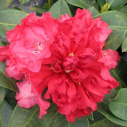 Rhododendron rouge 'Markeeta's Prize'